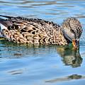 Female Gadwall Duck  by Elaine Manley