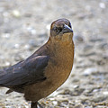 Female Grackle With Attitude by Kenneth Albin