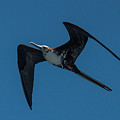 Female Great Frigatebird Flyng Overhead Near Fernandina Island Galapagos Islands by NaturesPix