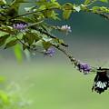 Female Great Mormon Butterfly On A Branch by Sami Sarkis