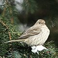 Female House Finch On Snow by Alyce Taylor