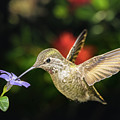Female Hummingbird And A Small Blue Flower Left Angled View by William Freebilly photography