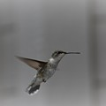 Female Hummingbird by LKB Art and Photography