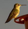 Female Hummingbird by William Tasker