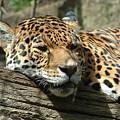 Female Jaguar by Paul Boast