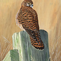 Female Kestrel Study by Mike Woodcock