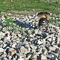 Female Killdeer Protecting Nest by Douglas Barnett