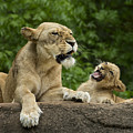 Momma Lion Over Cubs Attitude by Linda D Lester