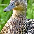 Female Mallard Duck Close Up by Jeramey Lende