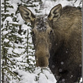 Female Moose In A Winter Wonderland by J and j Imagery