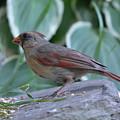Female Northern Cardinal  by Shelley Smith