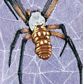 Female Orb Spider by Beverly Fuqua