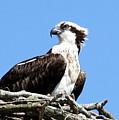Female Osprey by Annie Babineau