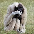 Female Pileated Gibbon, Gladys Porter Zoo by TN Fairey
