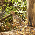 Female Ring-necked Pheasant - Phasianus Colchicus by Mother Nature