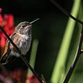 Female Rufous Hummingbird by Robert Potts