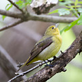Female Scarlet Tanager by Dave Whited
