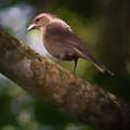 Female Shiny Cowbird by Adam Rainoff