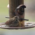 Female Sparrow On Birdfeeder by Anita Hiltz