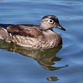 Female Wood Duck by Elaine Manley