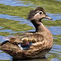 Female Wood Duck by Kathleen Bishop