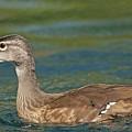 Female Wood Duck by Kenneth Albin