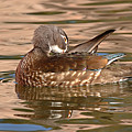 Female Wood Duck Preening On The Water by Max Allen