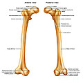 Femur, Anterior And Posterior View by Gwen Shockey