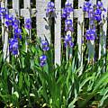 Fence In Purple by George D Gordon III