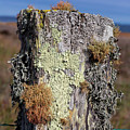 Fence Post Encrusted With Lichen  by Kathleen Bishop