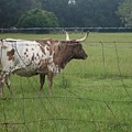 Fence Protection Vrs Fl Longhorn by Warren Thompson