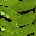 Fern Close-up With Water Droplets  by Jim Corwin