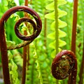 Fern Fronds Fine Art Photography Forest Ferns Green Baslee Troutman by Baslee Troutman