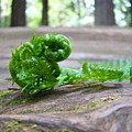 Fern On Big Redwood Tree Art Prints Baslee Troutman by Baslee Troutman