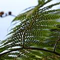 Fern Tree Frond by Ingrid Zagers