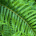 Ferns After A Spring Rain by Bruce Block