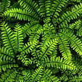 Ferns After The Rain by Shawn Einerson