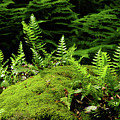 Ferns And Moss On The Ma At by Raymond Salani III