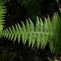 Ferns by Gene Lossman