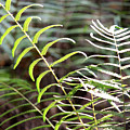 Ferns In Natural Light by Carol Groenen