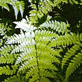 Ferns by Nelson Strong