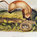 Ferret by John James Audubon