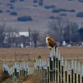 Ferruginous Hawk And Meadowlark by Craig Corwin
