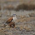 Ferruginous Hawk In Field by Craig Corwin