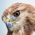 Ferruginous Hawk by Pierre Leclerc Photography