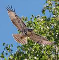 Young Hawk Soaring by Loree Johnson