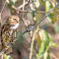 Ferruginous Pygmy-owl by Mike Timmons