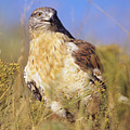 Feruginous Hawk by John Hyde - Printscapes