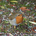 Festive Robin by Catherine Burke