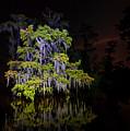 Festooned Cypress Tree by Andy Crawford